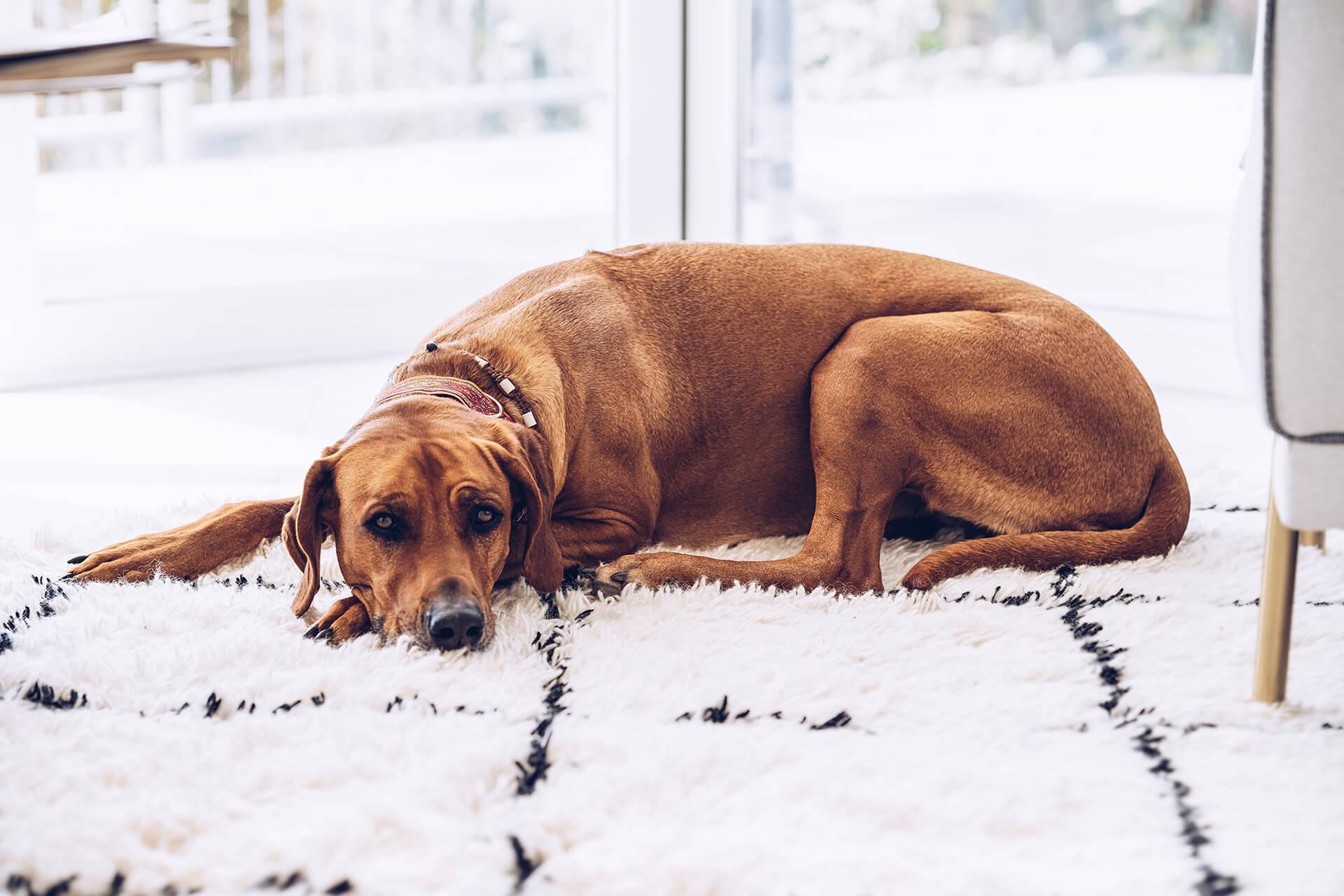 Lotte (Office-Dog)